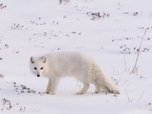 Arctic polar fox. In snow and ice ready to hunt in winter season royalty free stock photos