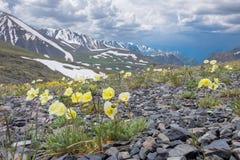 Arctic poppies Stock Photography