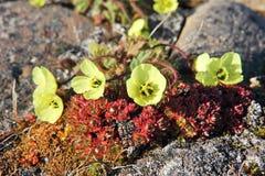 Arctic Poppy (Papaver radicatum) stock images