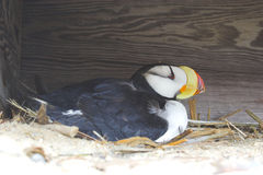 Arctic puffin on nest Royalty Free Stock Images