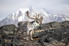 Arctic reindeer Stock Photo