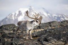 Arctic reindeer Stock Photo