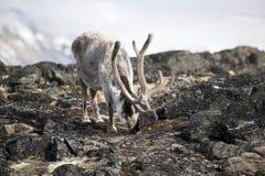 Arctic reindeer Stock Images
