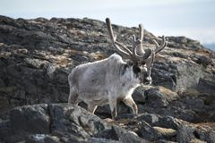 Arctic reindeer Royalty Free Stock Photo