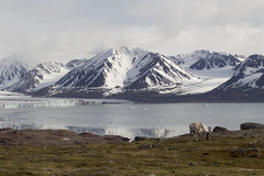 Arctic Reindeer. An arctic Reindeer searching for food, Svalbard Royalty Free Stock Photography