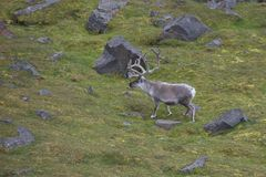 Arctic Reindeer in Edgeoya, Svalbard Royalty Free Stock Images