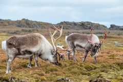Arctic reindeer preparing to shed their antlers. Royalty Free Stock Photography