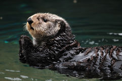 Arctic sea otter stock photos