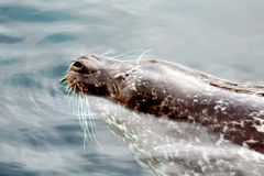 Arctic Seal Royalty Free Stock Photography