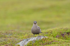Arctic skua Royalty Free Stock Images