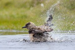 Arctic Skua Royalty Free Stock Photography
