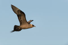 Arctic skua Royalty Free Stock Photos