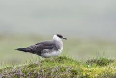 Arctic Skua - Stercorarius parasiticus royalty free stock images