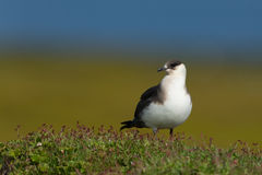 Arctic skua Stock Photo