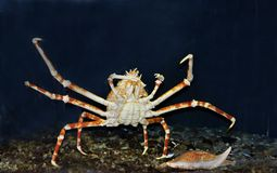 Arctic snow crab royalty free stock photos