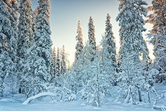 Arctic snowy winter forest Royalty Free Stock Photography