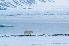 Arctic spring in south Spitsbergen. Polar bear. Stock Photography