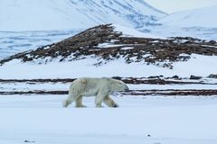 Arctic spring in south Spitsbergen. Polar bear. Royalty Free Stock Photography