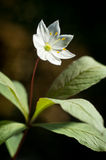 Arctic starflower. Beautiful white blossom and leaves.  Trientalis europaea Royalty Free Stock Photo
