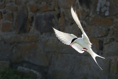 Arctic tern Royalty Free Stock Photo