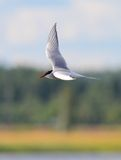 Arctic Tern. Flying and searching for food Stock Photography