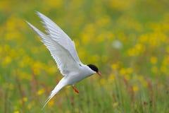 Arctic Tern Stock Photography