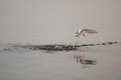 Arctic Tern. (Sterna paradisaea Royalty Free Stock Photography