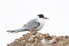 Arctic Tern in Autumn Stock Images