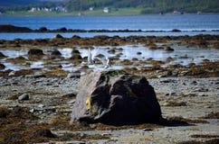 Arctic tern birds landing on sea shore boulder Stock Photos