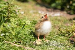 Arctic tern chick begging for food stock photography