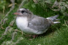 Arctic Tern Chick (sterna paradisea). Breeds in colonies or singly along coasts and on islands in sea-bays Stock Photos