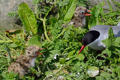 Arctic tern with chicks, Farne Islands Nature Reserve, England Stock Photos