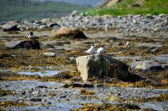 Arctic tern couple on sea shore boulder Stock Photo
