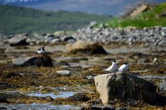 Arctic tern couple on sea shore boulder in summer Stock Photography