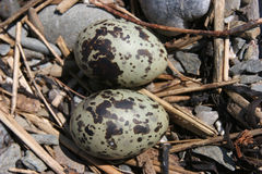 Arctic Tern Eggs Stock Images