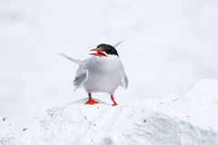 Arctic Tern on the Farne islands. Common arctic tern on a white wall with white light house behind. These birds have lovely red legs and beaks stock photography