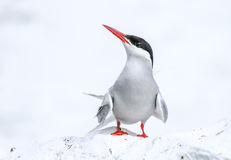 Arctic Tern on the Farne islands Royalty Free Stock Photography