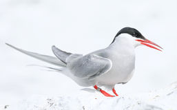 Arctic Tern on the Farne islands Royalty Free Stock Photos