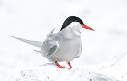 Arctic Tern on the Farne islands Stock Photography