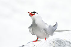 Arctic Tern on the Farne islands. Common arctic tern on a white wall with white light house behind. These birds have lovely red legs and beaks royalty free stock photos