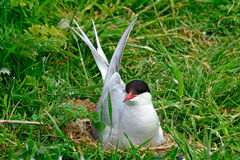 Arctic tern, Farne Islands Nature Reserve, England Royalty Free Stock Image