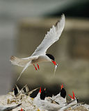 Arctic Tern Feeding Babies. An Arctic Tern bringing a small fish to a nest of baby birds Stock Photography
