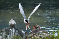 Arctic Tern Feeding Fledglings Stock Photography