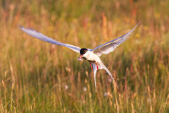 Arctic tern with a fish - Warm evening sun. Common bird in Iceland royalty free stock photo