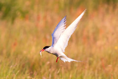 Arctic tern with a fish - Warm evening sun. Common bird in Iceland stock image