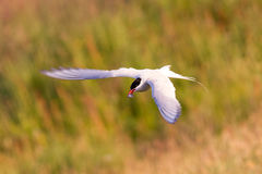 Arctic tern with a fish - Warm evening sun. Common bird in Iceland stock photography
