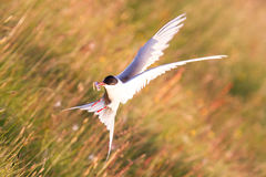 Arctic tern with a fish - Warm evening sun. Common bird in Iceland royalty free stock photos