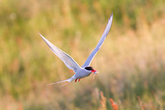 Arctic tern with a fish - Warm evening sun. Common bird in Iceland royalty free stock photography