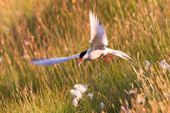 Arctic tern with a fish - Warm evening sun. Common bird in Iceland stock photos