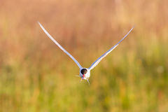Arctic tern with a fish - Warm evening sun. Common bird in Iceland stock photo